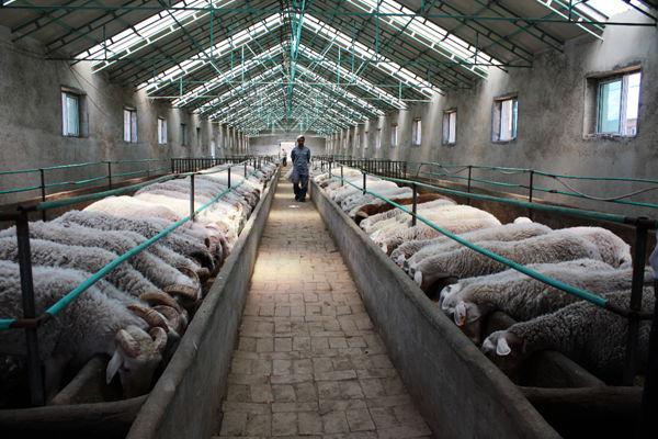 养羊50只一年赚多少钱?