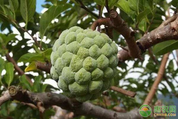 释迦果是什么季节的水果?