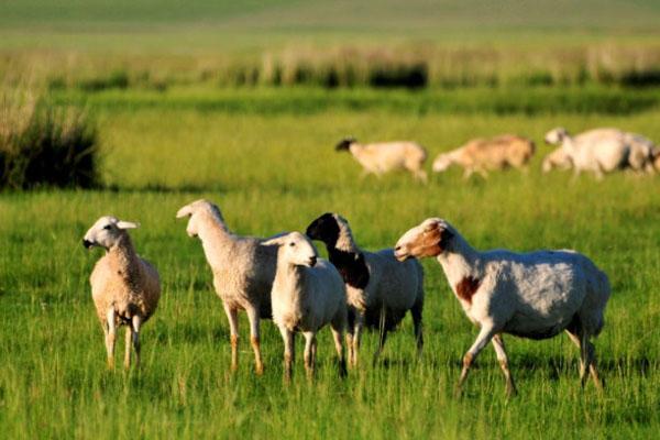 养什么羊最好?