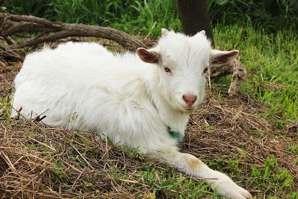 哪个品种羊的养殖经济效益好?