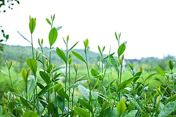 在金三角地区主要替代种植的作物是什么?