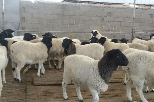 养殖业养羊什么羊好?