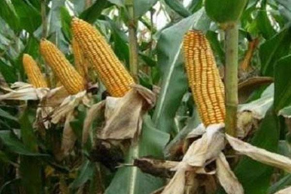 抗病又抗倒的玉米品种有哪些?