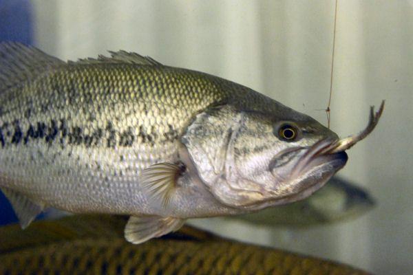 鲈鱼常见品种都有哪些?