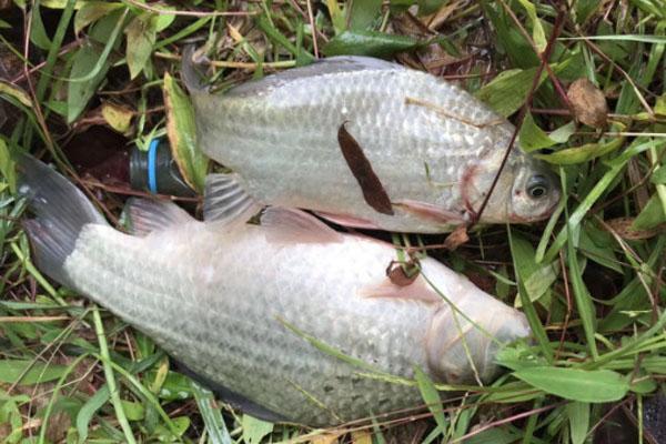 白色的鲫鱼是什么品种?白鲫鱼和非洲鲫鱼有什么区别?