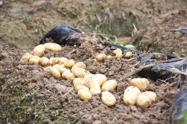 土豆高产品种都有哪些?
