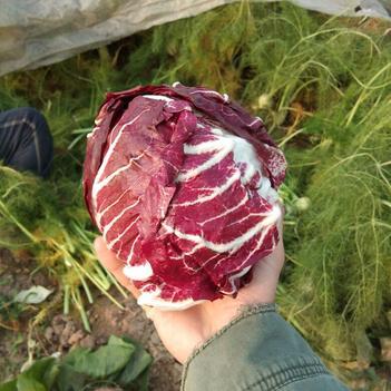 红球菊苣 3~4两