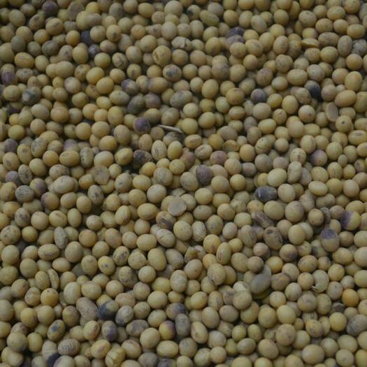 周口西华县中黄13黄豆 生大豆 2等品