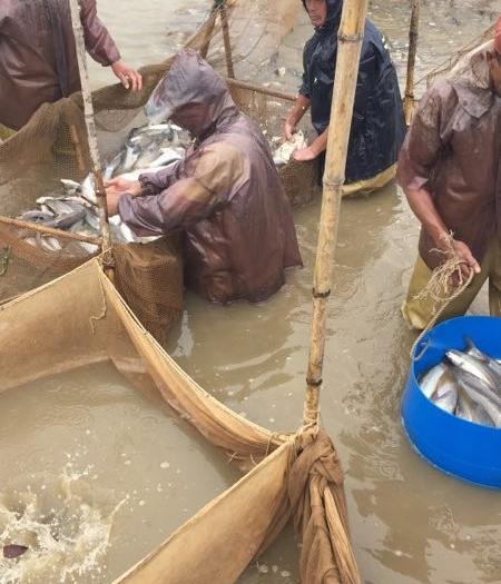 佛山淡水银鳕鱼 人工养殖
