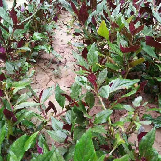 济南紫背天葵种苗
