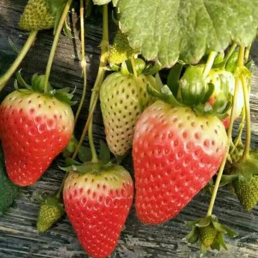 阜陽天仙醉草莓 30克以上