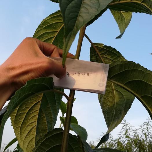 泰安岱岳区杜仲苗  苗圃一级货。