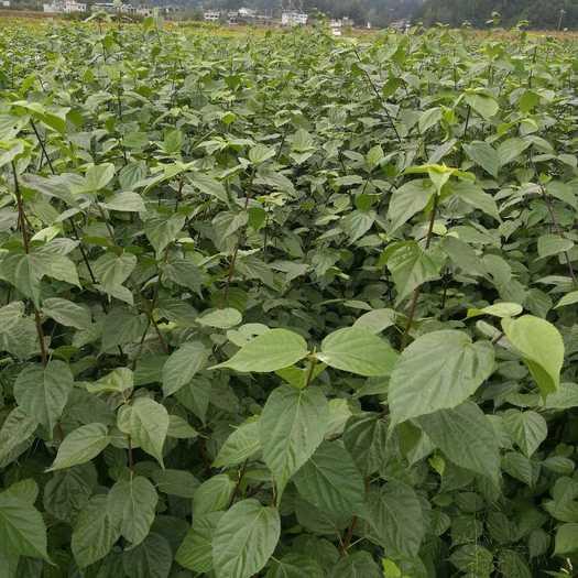 恩施土利川市 豆腐柴苗基地供应重庆臭黄金树 观音豆腐树
