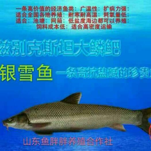 广州淡水银鳕鱼 【产地直销】大鳞鲃(银鳕鱼)