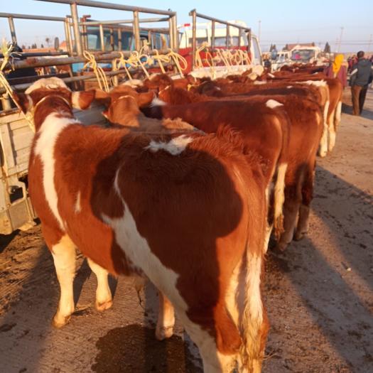 莱州市 西门塔尔肉牛达到3代4代