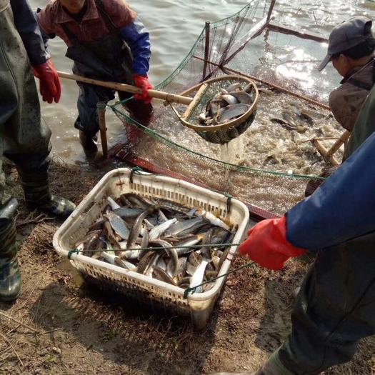 湖州南浔区花骨鱼 人工养殖 0.25-1公斤 花骨鱼 人工养殖 0.25-1公斤