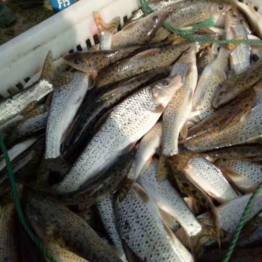 湖州南浔区花骨鱼 人工养殖 0.25-1公斤