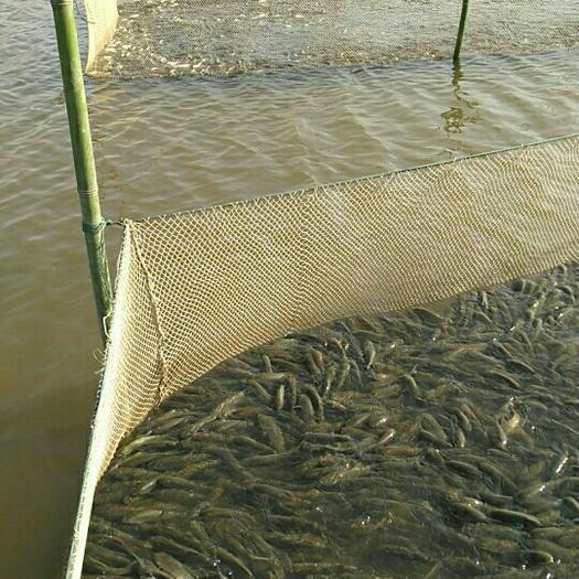 重庆池塘草鱼 人工养殖 0.1公斤