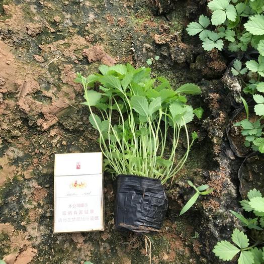 濰坊青州市蛇莓
