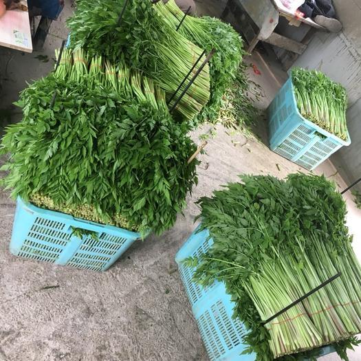 蘇州太倉市白莧菜 30-40cm 鮮綠