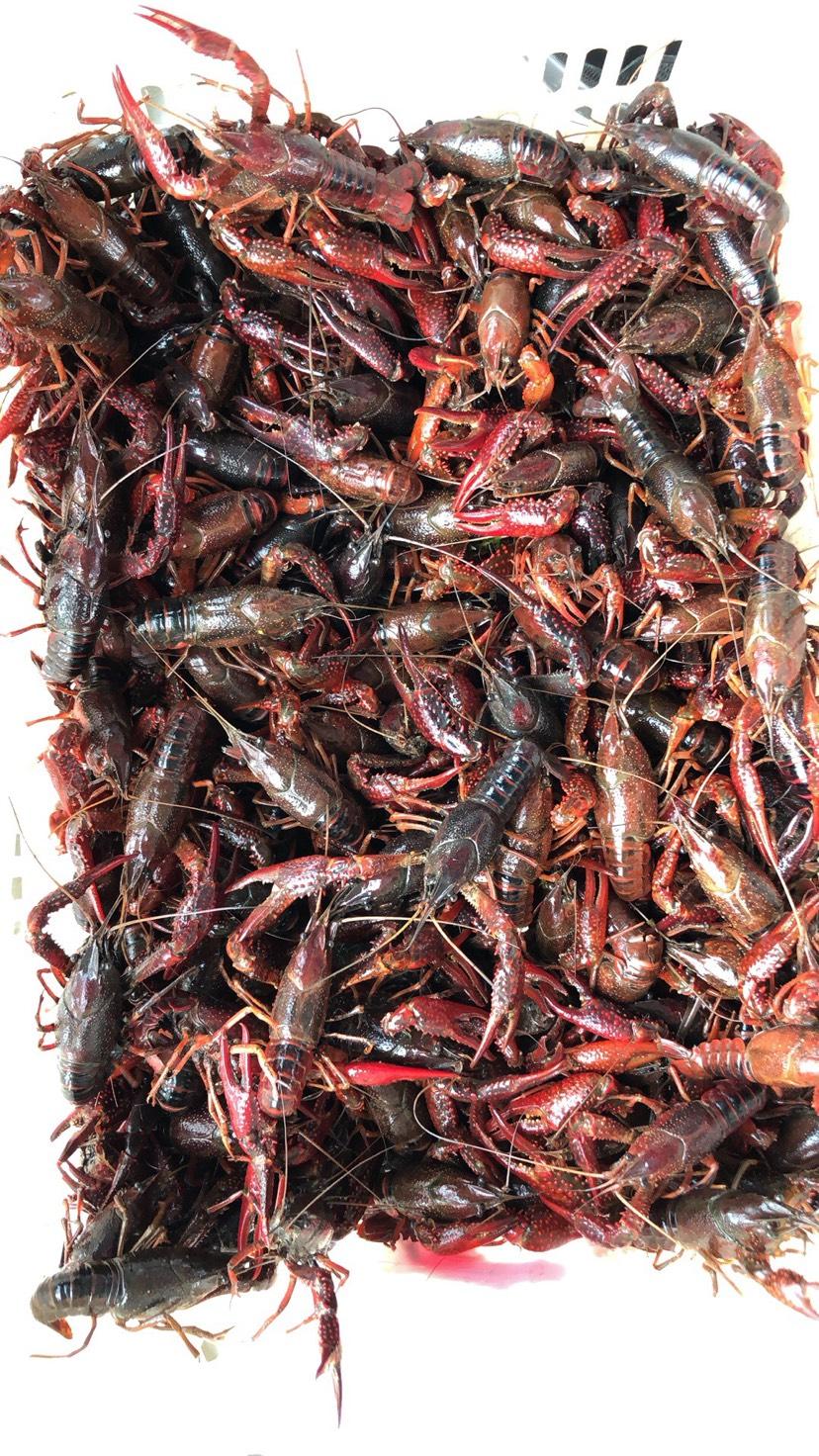 潜江小龙虾 234规格的小青小红全部自己和周边伯伯一起养的虾