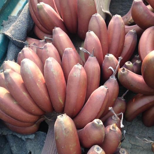 南宁 红香蕉(红美人蕉)