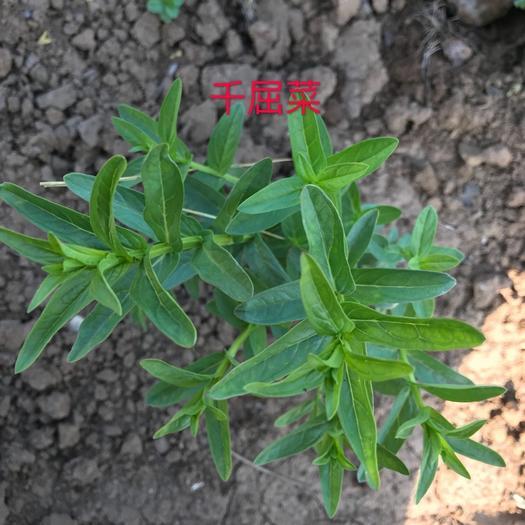 潍坊青州市千屈菜种子