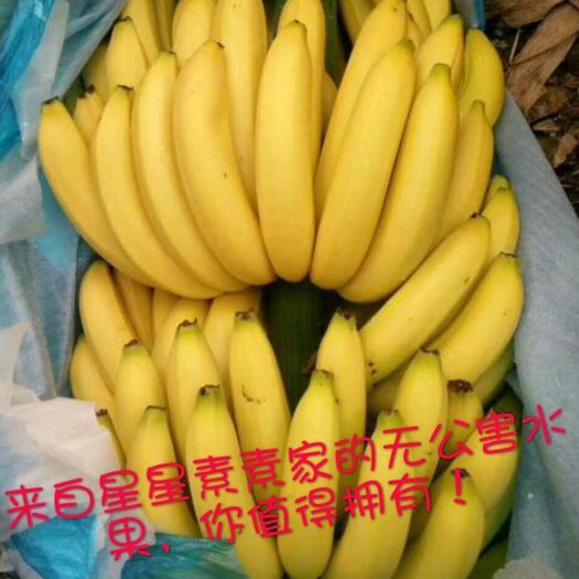 南宁金陵香蕉 七成熟