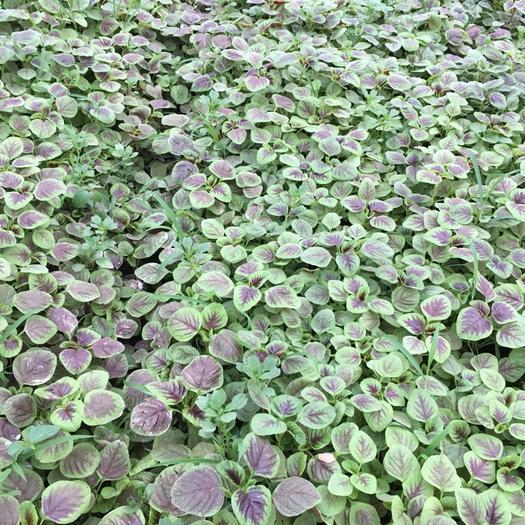 苏州太仓市红苋菜 15-20cm 紫红