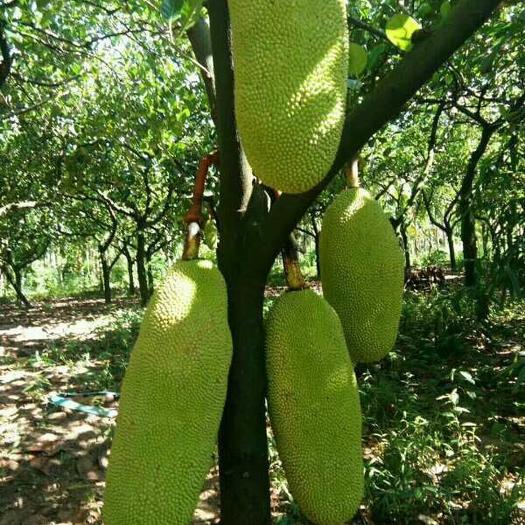 钦州灵山县马来西亚一号菠萝蜜苗