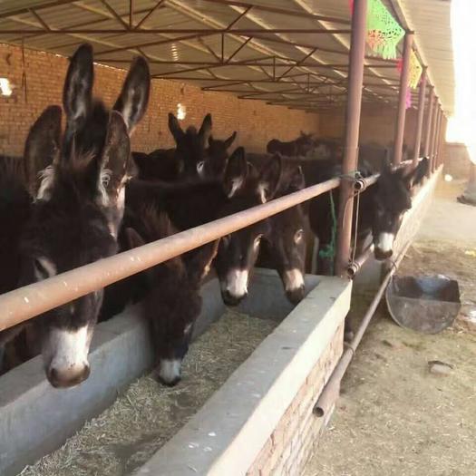 青岛胶州市德州驴 200-400斤