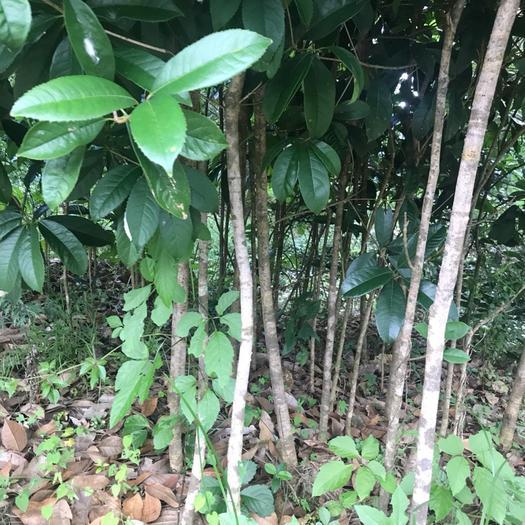 灵山县桂花树种子