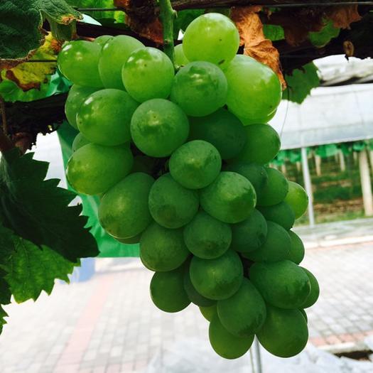 重庆醉金香葡萄 5%以下 1次果 1-1.5斤