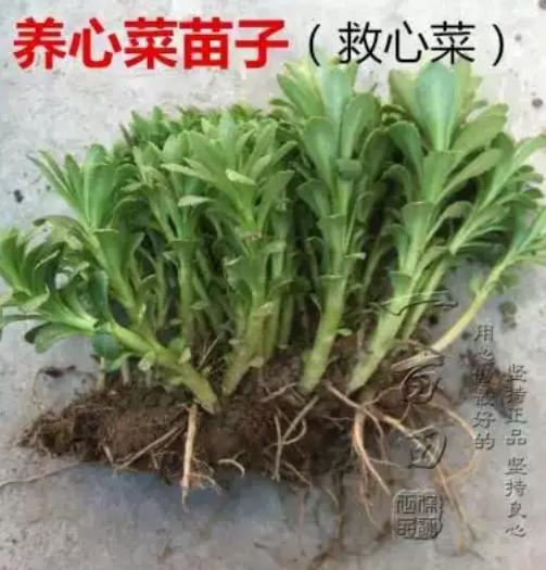 亳州谯城区高钙菜种子