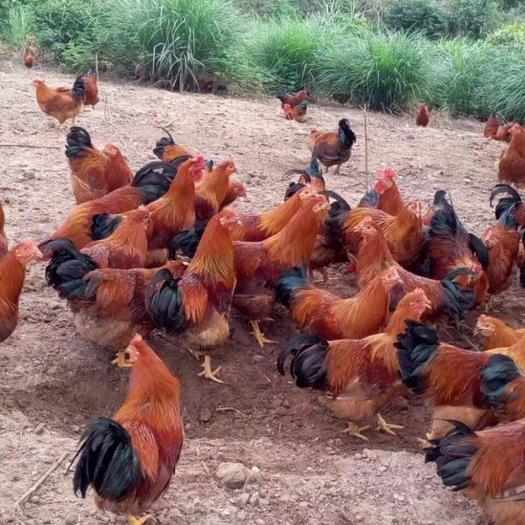 南宁西乡塘区土鸡苗 厂家直销包做好疫苗包托运