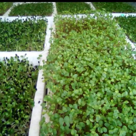 唐山丰南区油葵芽 盒装 温室