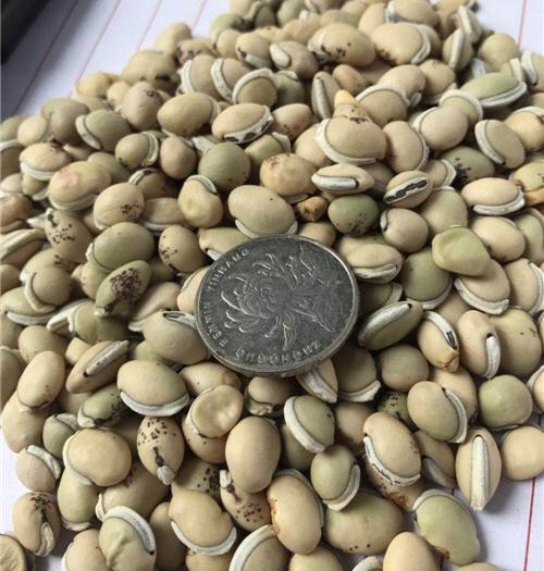 安国市白扁豆 2cm以上 10cm以下