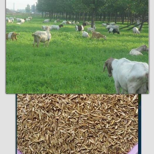 苏州吴江区高羊茅种子 高羊茅种子