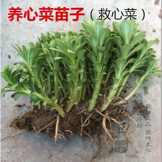 沧州南皮县高钙菜种子 高钙菜苗,养心菜苗,费菜苗,救心菜苗,景天三七苗