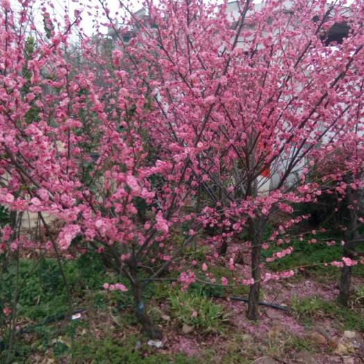 新沂市 紅梅小苗種植地,現挖現賣,品種保證。
