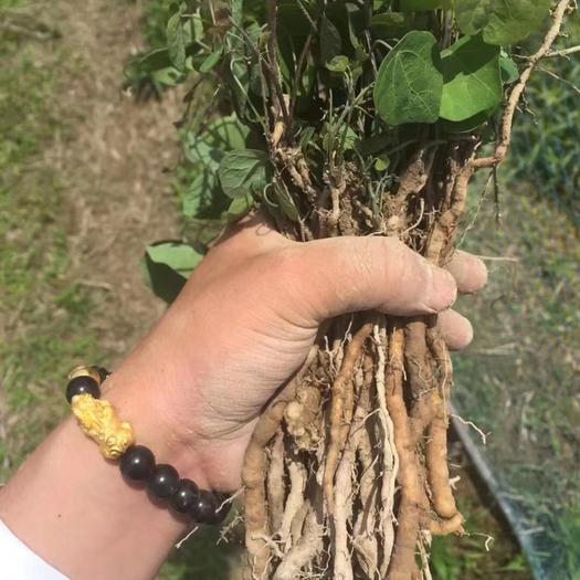 東至縣防己 粉籽苗,正宗江西藥典品種