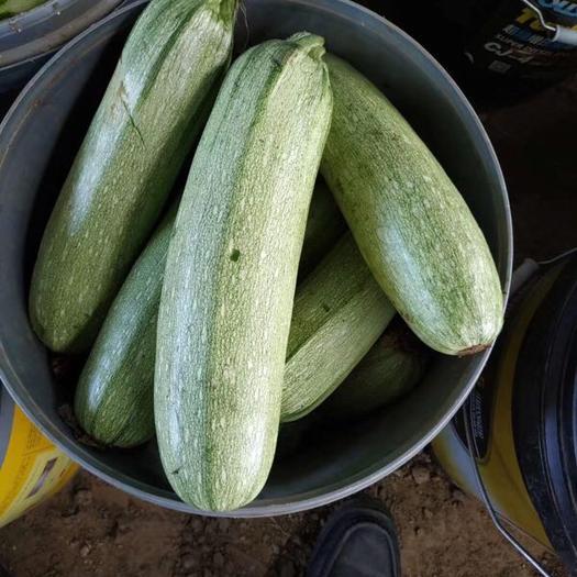 锦州凌海市花皮西葫芦 1斤以上
