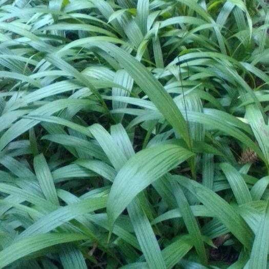 绥宁县白芨种子  紫花三叉白芨产量高