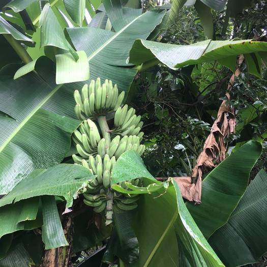 乐昌市土芭蕉 八成熟 40斤以下