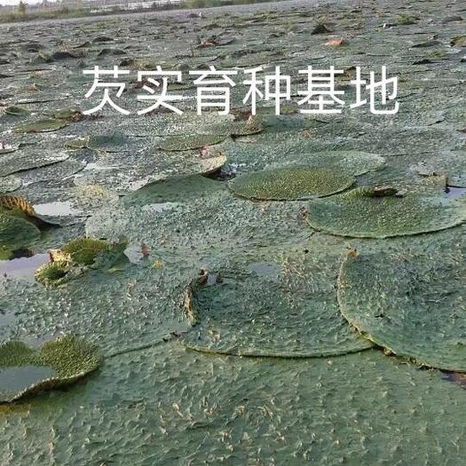 济宁微山县芡实种子