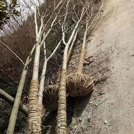 潢川縣 黃山欒樹1-25公分產地直銷,胸徑12公分