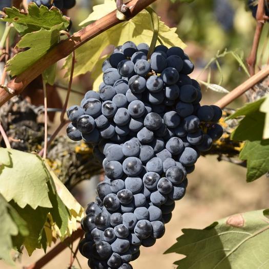 东阳市红宝石葡萄 5%以下 1次果 1.5- 2斤