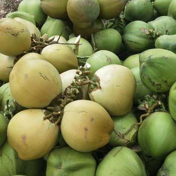 椰青 海南椰子 新鲜椰青 现摘现发 物流发货 运费到付