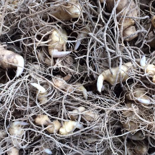 邵阳绥宁县黄精种苗 大量出售,基地直供,欢迎来实地考察。