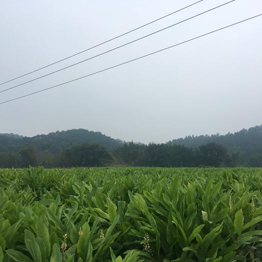 肇庆广宁县南姜 水洗
